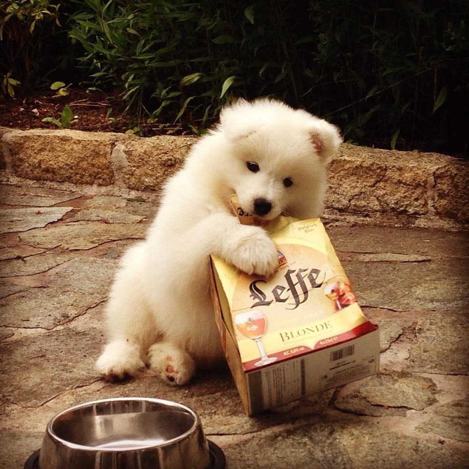 Spitz Köln 960 best spitz images on samoyed dogs adorable