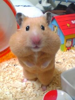 Best Hamsters Images On Pinterest Hamsters Dwarf Hamsters - Hamster bartenders cutest thing youve ever seen