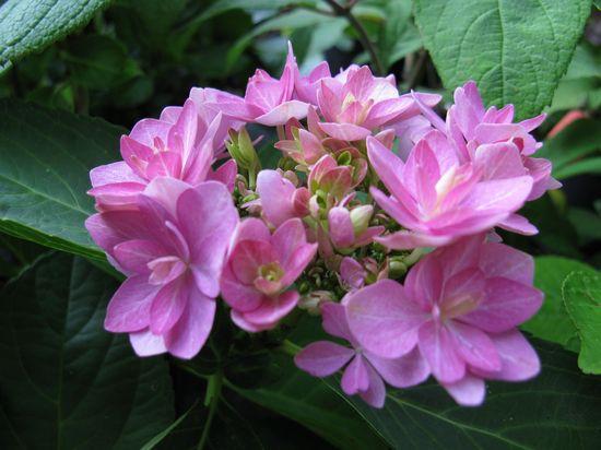 pink wonder hortensia