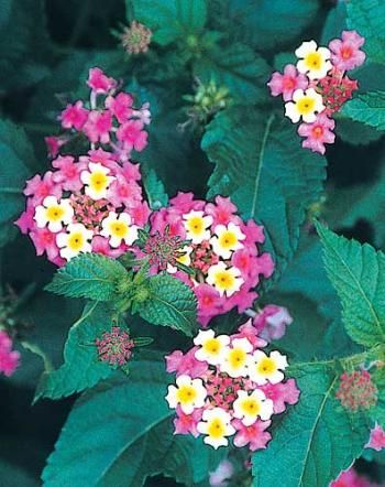 102 best flower names annuals images on pinterest flowers garden 102 best flower names annuals images on pinterest flowers garden gardening and beautiful flowers mightylinksfo Image collections