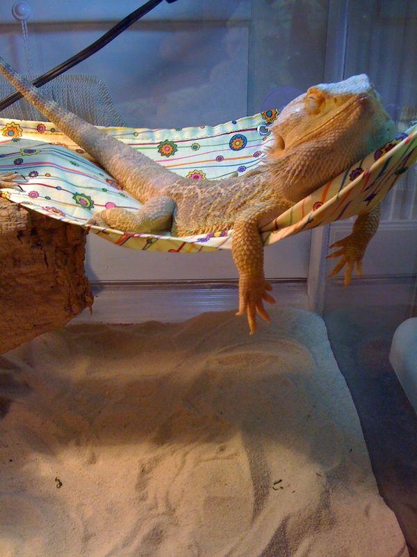 171 best bearded dragon life     images on pinterest   dragon pet bearded dragon cage and reptiles 171 best bearded dragon life     images on pinterest   dragon pet      rh   pinterest co uk