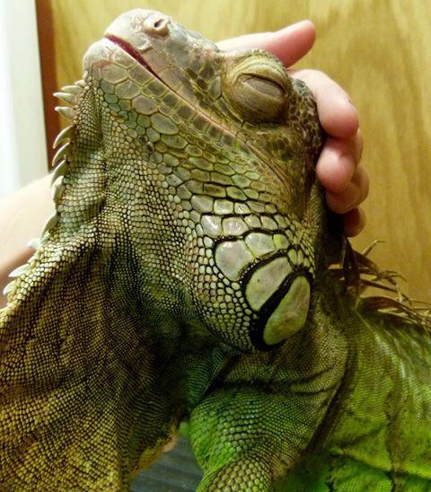 777 Best Iguana Love Images On Pinterest